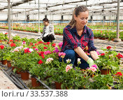 Experienced female worker gardening in glasshouse, checking flowers. Стоковое фото, фотограф Яков Филимонов / Фотобанк Лори