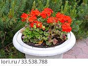 Красные цветы пеларгонии (Pelargonium (L.) L'Her. ex Ait.) в садовом вазоне. Стоковое фото, фотограф Ирина Борсученко / Фотобанк Лори