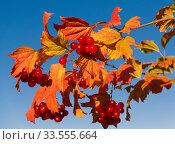 Купить «Red bright rowan berries against the blue sky», фото № 33555664, снято 13 сентября 2018 г. (c) Наталья Волкова / Фотобанк Лори