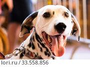 Купить «Portrait of thoroughbred Dalmatian dog», фото № 33558856, снято 16 июля 2017 г. (c) Татьяна Яцевич / Фотобанк Лори
