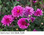 Bush of flowering pink small-flowered chrysanthemums in the summer garden. Стоковое фото, фотограф Наталья Волкова / Фотобанк Лори