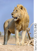 Купить «Adult male lion (Panthera leo) standing on the banks of the Luangwa River, South Lunangwa NP. Zambia.», фото № 33570840, снято 30 мая 2020 г. (c) Nature Picture Library / Фотобанк Лори