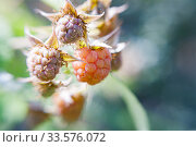 Raspberry branch, ripe and unripe berries, sunny summer day. Стоковое фото, фотограф Ирина Мойсеева / Фотобанк Лори