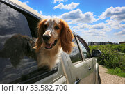 The dog looks out of the car window. Traveling by car with a hunting spaniel dog. Стоковое фото, фотограф Яна Королёва / Фотобанк Лори