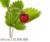 Купить «Ripe red forest strawberry and a red ladybug sitting on it on a white background isolated», фото № 33590408, снято 19 июня 2016 г. (c) Наталья Волкова / Фотобанк Лори