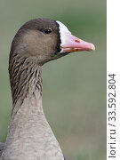 Купить «Greater White-fronted Goose / Blaessgans ( Anser albifrons ) detailed close-up, portrait, headshot, frontal view, wildlife, Europe.», фото № 33592804, снято 22 января 2019 г. (c) age Fotostock / Фотобанк Лори