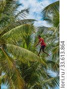 Купить «Мужчина-сборщик сока кокосовых пальм, идет по канату, натянутому между деревьями. Шри-Ланка. Sanmali Beach Hotel, Marawila, Sri Lanka», фото № 33613864, снято 13 апреля 2019 г. (c) Владимир Сергеев / Фотобанк Лори