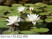 Купить «Three white water liliшes on water of pond, lilium, Saint Constantine and Helena resort, Bulgaria.», фото № 33622456, снято 20 июня 2018 г. (c) ИВА Афонская / Фотобанк Лори