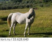 Купить «A white horse grazes in a field on a sunny summer day, closeup», фото № 33628640, снято 15 мая 2014 г. (c) Наталья Волкова / Фотобанк Лори
