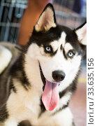 Купить «Siberian Husky Portrait of thoroughbred Siberian Husky dog», фото № 33635156, снято 16 июля 2017 г. (c) Татьяна Яцевич / Фотобанк Лори