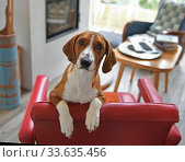 Drever, breed of dog, short-legged scenthound from Sweden used for hunting deer and other game. Dog is standing on red armchair. Стоковое фото, фотограф Валерия Попова / Фотобанк Лори