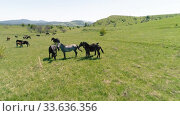 Купить «Flight over wild horses herd on mountain meadow. Summer mountains wild nature. Freedom ecology concept.», видеоролик № 33636356, снято 28 июля 2018 г. (c) Александр Маркин / Фотобанк Лори
