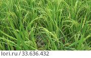 Купить «Растущий молодой рис крупным планом. Таиланд», видеоролик № 33636432, снято 3 января 2019 г. (c) Виктор Карасев / Фотобанк Лори
