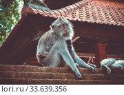 Купить «Monkeys on a temple roof in the sacred Monkey Forest, Ubud, Bali, Indonesia», фото № 33639356, снято 1 июня 2020 г. (c) age Fotostock / Фотобанк Лори