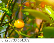 Купить «Фортунелла япоснкая, цитрусовое дерево. Summer background. Kumquat fruits in summer garden, closeup. Fortunella japonica kumquats», фото № 33654372, снято 6 июня 2019 г. (c) Зезелина Марина / Фотобанк Лори