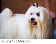 Купить «thoroughbred beautiful fluffy Maltese dog», фото № 33654756, снято 16 июля 2017 г. (c) Татьяна Яцевич / Фотобанк Лори