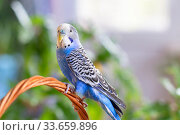 Купить «A beautiful wavy parrot of blue color sits without a cage. Tropical birds at home», фото № 33659896, снято 21 апреля 2020 г. (c) Екатерина Кузнецова / Фотобанк Лори