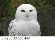 Купить «Berlin, Germany, Portrait of a snowy owl», фото № 33660440, снято 14 февраля 2020 г. (c) Caro Photoagency / Фотобанк Лори