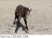 Hoppegarten, foal in gallop on a sand paddock (2020 год). Редакционное фото, агентство Caro Photoagency / Фотобанк Лори