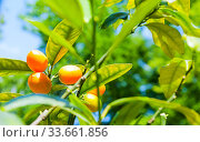 Купить «Кумкват, Фортунелла маргарита. Summer background. Kumquat fruits in summer garden, closeup. Fortunella margarita kumquats», фото № 33661856, снято 6 июня 2019 г. (c) Зезелина Марина / Фотобанк Лори