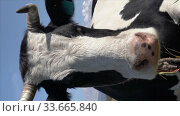 Купить «Vertical footage portrait milking cow lies in farm field, resting, digesting food and basking in sun on background blue sky on sunny weather», видеоролик № 33665840, снято 19 сентября 2019 г. (c) А. А. Пирагис / Фотобанк Лори