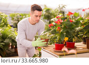 Купить «Florist growing African violet», фото № 33665980, снято 8 ноября 2019 г. (c) Яков Филимонов / Фотобанк Лори