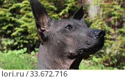 Купить «Portrait of Mexican Hairless xoloitzcuintle dog outdoors», видеоролик № 33672716, снято 1 мая 2020 г. (c) Алексей Кузнецов / Фотобанк Лори