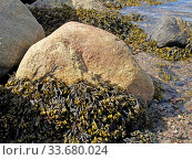 Водоросль фукус пузырчатый (Fucus vesiculosus) на камнях во время отлива. Берег Белого моря. Стоковое фото, фотограф Ирина Борсученко / Фотобанк Лори