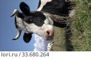 Купить «Vertical format footage portrait milch cow lies in farm field, resting, digesting food and basking in sun on background blue sky on sunny day», видеоролик № 33680264, снято 19 сентября 2019 г. (c) А. А. Пирагис / Фотобанк Лори