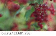 Shooting in motion along a branch of red currant. Close-up, focus translation. Стоковое видео, видеограф Aleksandr Lutcenko / Фотобанк Лори