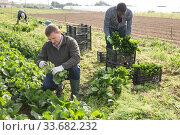 Купить «Workers clean ripe spinach and put in boxes on field», фото № 33682232, снято 15 апреля 2020 г. (c) Яков Филимонов / Фотобанк Лори