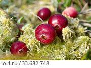 Купить «Зрелые ягоды клюквы во мху крупным планом», фото № 33682748, снято 7 сентября 2019 г. (c) Елена Коромыслова / Фотобанк Лори