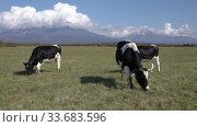 Купить «Group black and white cows grazing in farm field, eat green grass on background of volcanoes and blue sky sunny day. Agricultural landscape», видеоролик № 33683596, снято 19 сентября 2019 г. (c) А. А. Пирагис / Фотобанк Лори