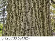 Купить «Quercus rubra - Northern Red Oak tree bark detail, Quebec, Canada.», фото № 33684824, снято 18 мая 2019 г. (c) age Fotostock / Фотобанк Лори
