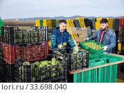 Купить «Focused young farmers working on vegetable plantation, checking quality of freshly harvested artichokes», фото № 33698040, снято 6 июня 2020 г. (c) Яков Филимонов / Фотобанк Лори