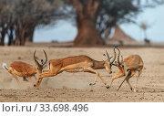 Impala (Aepyceros melampus) three males fighting, Mana Pools National Park, Zimbabwe. Стоковое фото, фотограф Tony Heald / Nature Picture Library / Фотобанк Лори