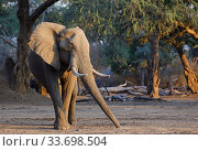 Купить «African elephant (Loxodonta africana) picking up acacia seed pods to eat. Mana Pools National Park, Zimbabwe.», фото № 33698504, снято 5 июля 2020 г. (c) Nature Picture Library / Фотобанк Лори