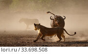 Lion (Panthera leo) moving away from a defensive African buffalo (Syncerus caffer) Mana Pools National Park, Zimbabwe. Редакционное фото, фотограф Tony Heald / Nature Picture Library / Фотобанк Лори