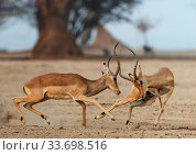 Impala (Aepyceros melampus) two males fighting, Mana Pools National... Стоковое фото, фотограф Tony Heald / Nature Picture Library / Фотобанк Лори