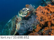 Купить «Hawksbill turtle (Erethmochelys imbricata) feeding on tropical reef, Tulamben, North coast, Bali, Indonesia. Lesser Sunda Islands.», фото № 33698652, снято 31 мая 2020 г. (c) Nature Picture Library / Фотобанк Лори