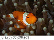 Купить «Western clownfish (Amphiprion ocellaris) in sea anemone on reef in Raja Ampat, West Papua, Indonesia. Pacific Ocean.», фото № 33698908, снято 4 июня 2020 г. (c) Nature Picture Library / Фотобанк Лори