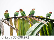 Group of Rose-faced parrot (Pyrilia pulchra) in cloud forest, Choco region, Northwestern Ecuador. Стоковое фото, фотограф Nick Hawkins / Nature Picture Library / Фотобанк Лори
