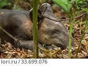A young Baird's tapir (Tapirus bairdii) sleeping, rainforest, Corcovado National Park, Costa Rica. Endangered. Стоковое фото, фотограф Nick Hawkins / Nature Picture Library / Фотобанк Лори