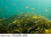 School of juvenile polluck (Pollachius pollachius) swimming over kelp along the Eastern Shore of Nova Scotia, Canada. July. Стоковое фото, фотограф Nick Hawkins / Nature Picture Library / Фотобанк Лори