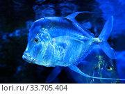 Купить «Селена или рыба вомер (Selene vomer)», фото № 33705404, снято 19 марта 2020 г. (c) Татьяна Белова / Фотобанк Лори