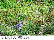 Купить «Heron (Ardea cinerea) Exeter Canal, Devon, England, UK. September.», фото № 33705736, снято 14 июля 2020 г. (c) Nature Picture Library / Фотобанк Лори