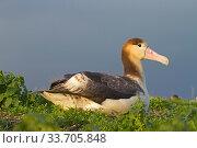 Купить «Short-tailed albatross (Phoebastria albatrus) juvenile, Sand Island, Midway, Hawaii», фото № 33705848, снято 1 июня 2020 г. (c) Nature Picture Library / Фотобанк Лори