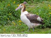Купить «Short-tailed albatross (Phoebastria albatrus) juvenile, Sand Island, Midway, Hawaii.», фото № 33705852, снято 1 июня 2020 г. (c) Nature Picture Library / Фотобанк Лори