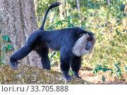 Купить «Lion-tailed macaque (Macaca silenus), dominant male, aggressive posture, Anaimalai Mountain Range (Nilgiri hills), Tamil Nadu, India», фото № 33705888, снято 5 июня 2020 г. (c) Nature Picture Library / Фотобанк Лори