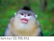 Купить «Yunnan snub-nosed monkey (Rhinopithecus bieti), adult male, feeding, Yunnan province, China», фото № 33705912, снято 15 июля 2020 г. (c) Nature Picture Library / Фотобанк Лори